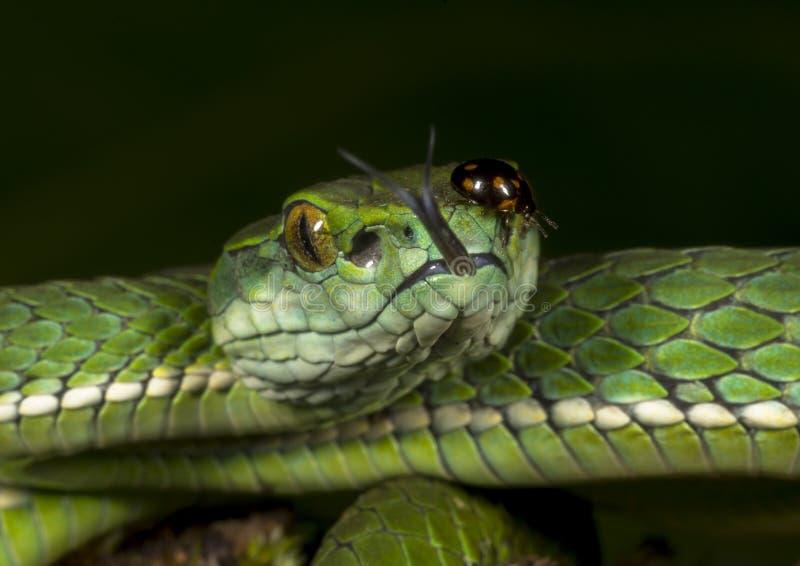 Insekt auf Groß-eingestuftem Pit Vipers Eye stockfotos