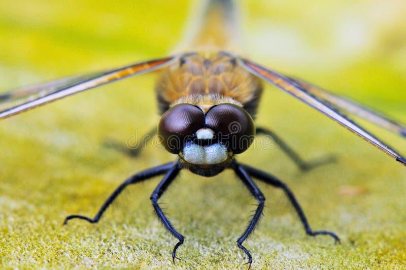 Insekt, bezkręgowiec, Makro- fotografia, fauna obraz royalty free
