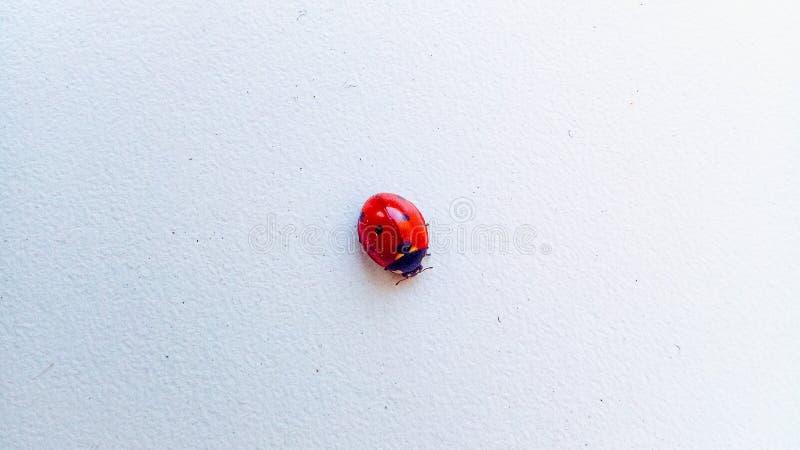 Insekt biedronka na czarnej be?u ?wiat?a powierzchni makro- obraz stock