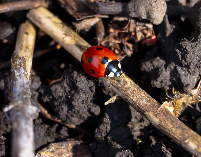Insekt biedronki czołganie na gałąź fotografia royalty free