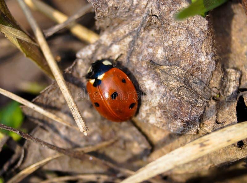 Insekt czerwona biedronka na suchym brown liściu zdjęcia stock