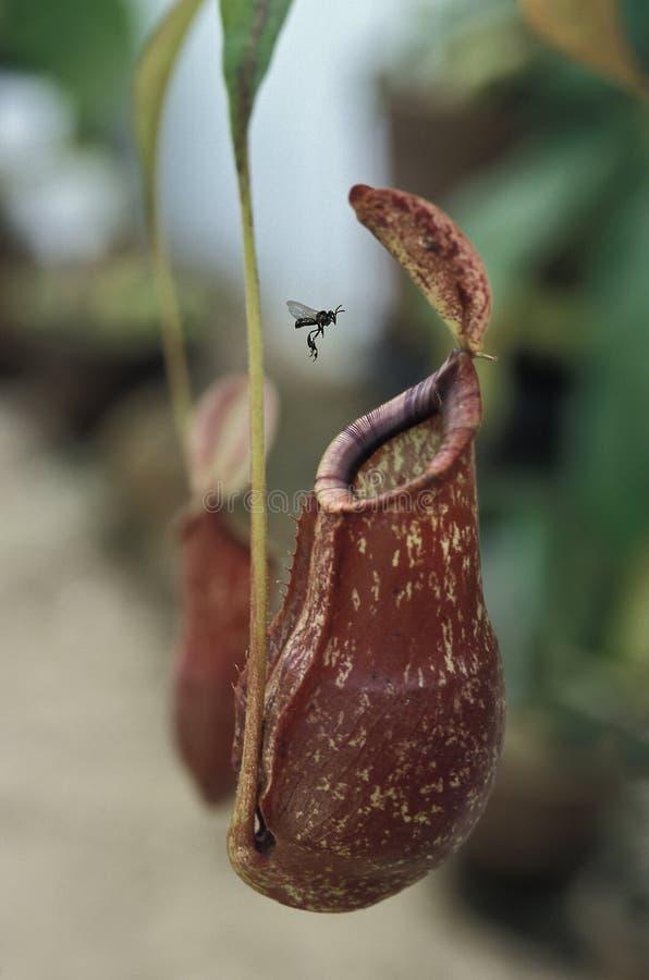 Insekt, das einer Fleisch fressenden Anlage sich nähert lizenzfreie stockfotos