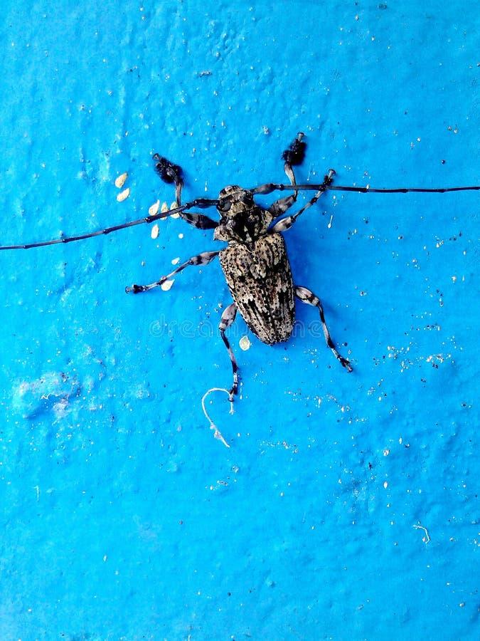 Insekt des schwarzen und grauen Weiß mit lang lizenzfreies stockfoto
