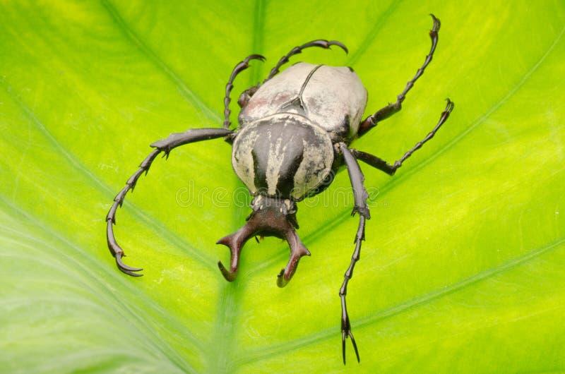 Insekt-Hirschhupen-Blumenkäfer lizenzfreie stockfotografie