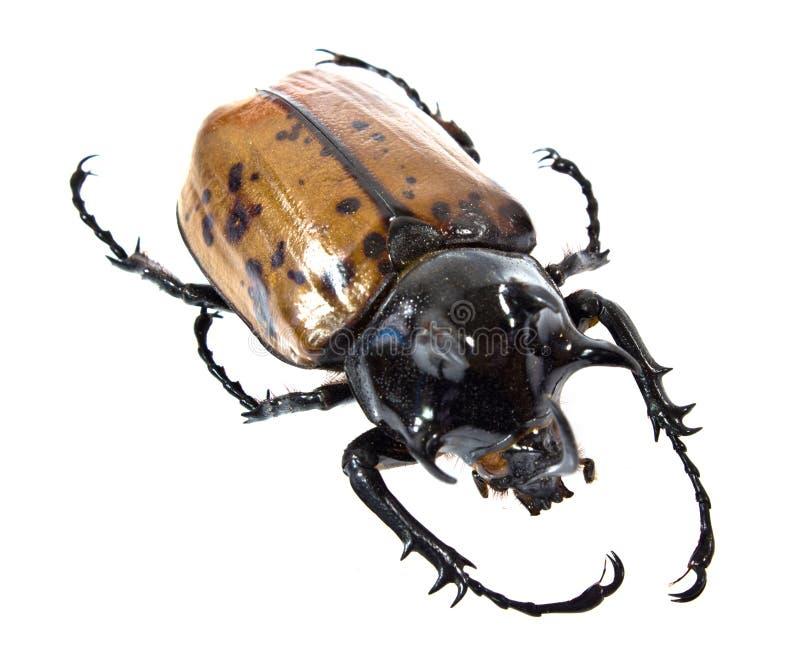 Insekt, Käfer, Nashornkäferwanze stockfotografie