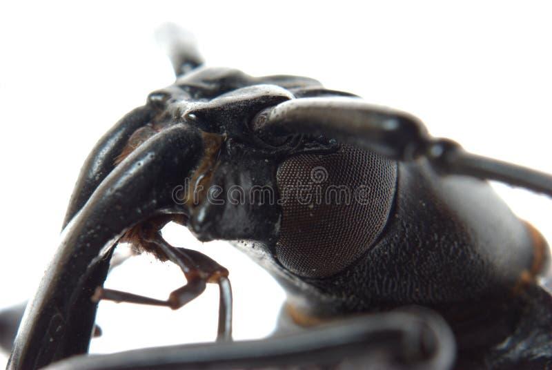 Insekt Longhornkäfer-Kopfmakro stockfoto