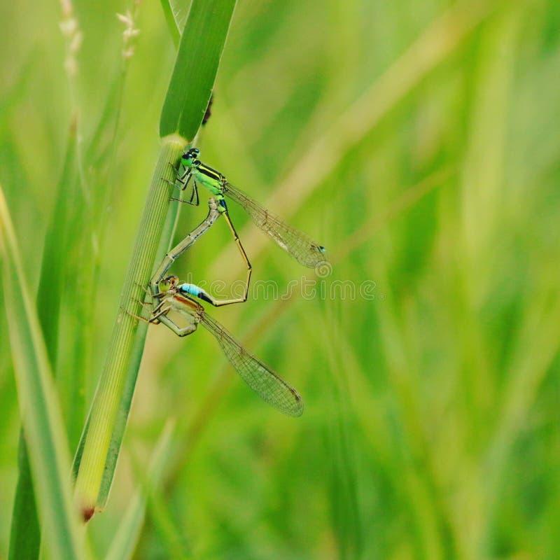 Insekt matuje sezon fotografia stock