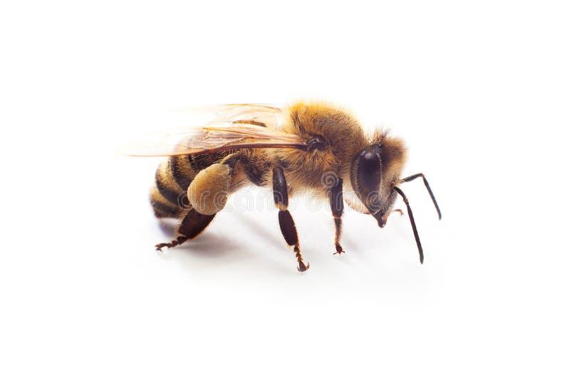 Insekt miodowa pszczoła z pollen na swój łapach odizolowywać na bielu zdjęcia royalty free