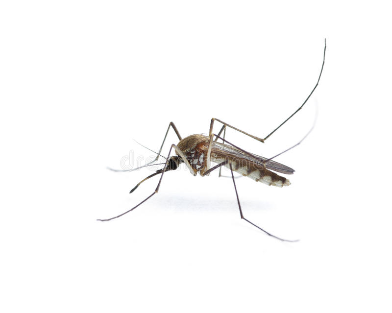 Insekt-Moskito stockbild