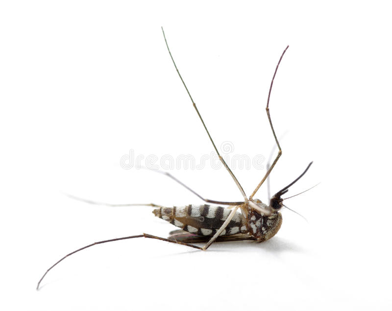Insekt-Moskito lizenzfreie stockfotografie