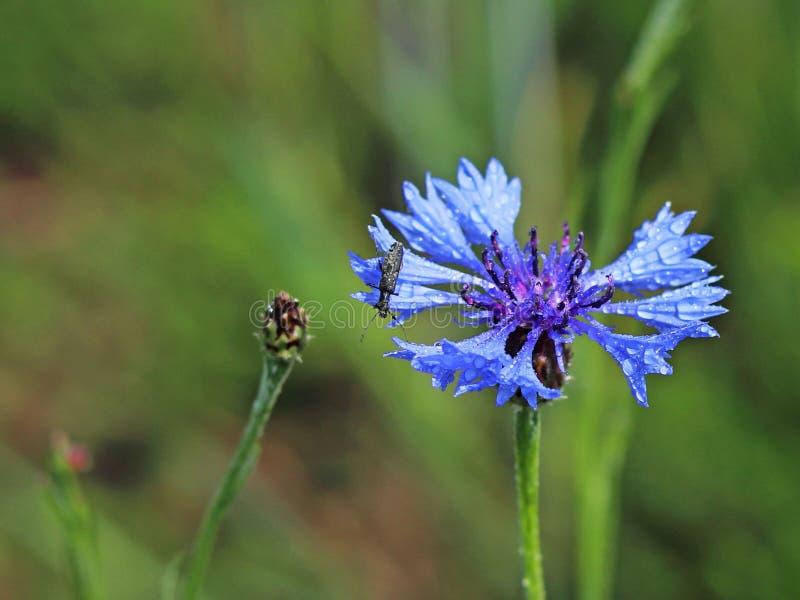 Insekt na Knapweeds kwiacie w słońcu Błękitny kwiat w kropelkach rosa na zamazanym zielonym tle Rośliny łąki obraz stock