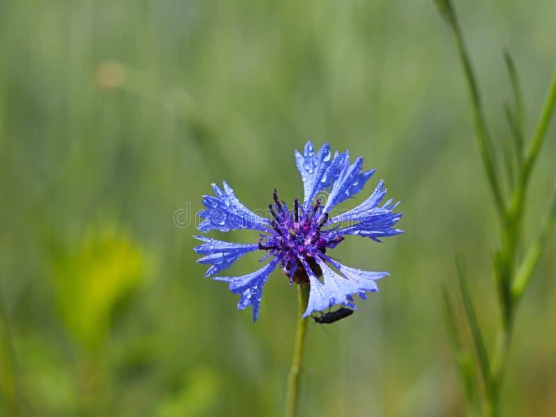 Insekt na Knapweeds kwiacie w słońcu Błękitny kwiat w kropelkach rosa na zamazanym zielonym tle Rośliny łąki zdjęcia stock