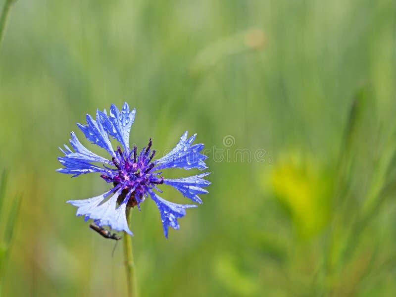 Insekt na Knapweeds kwiacie w słońcu Błękitny kwiat w kropelkach rosa na zamazanym zielonym tle Rośliny łąki zdjęcia royalty free