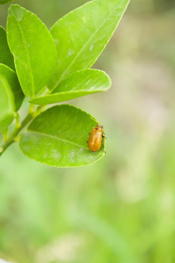 Insekt na liściach fotografia stock