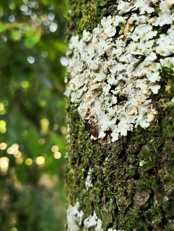 Insekt pluskwa na drzewnym bagażniku zakrywającym z liszajami, grzybami i mech, obrazy stock
