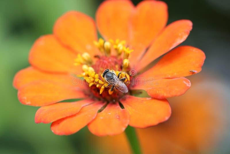 Insekt trinkt Nektar von der Zinniablume lizenzfreie stockfotografie
