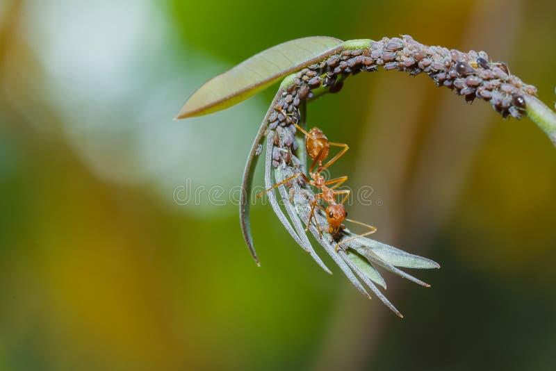 Insekt, Wanze, rotes Ameisenentdeckungslebensmittel auf der Blatt Hintergrundunschärfe stockfotos