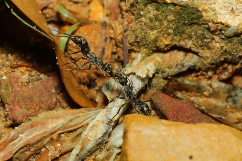 Insekt wojny Dwa czarnej mrówki atakują osy która wchodzić do ich terytorium - Afrykańskie bitwy - Osa szybko pożerają obrazy stock