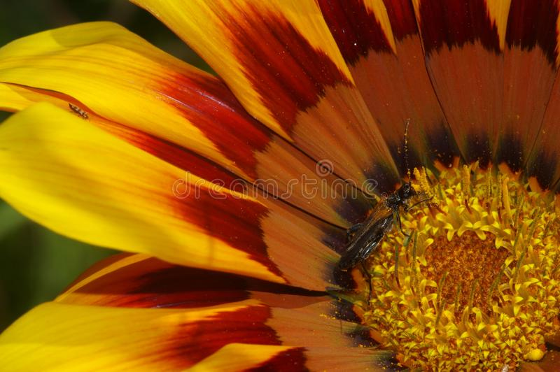 Insekta biesiadowanie na Pollen obrazy stock