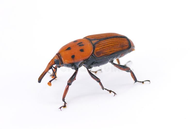 insekta czerwieni zwijacz fotografia stock
