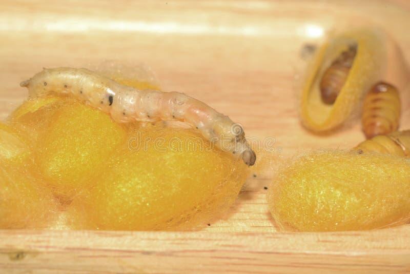 Insekta jedwabnik na tacy obrazy stock