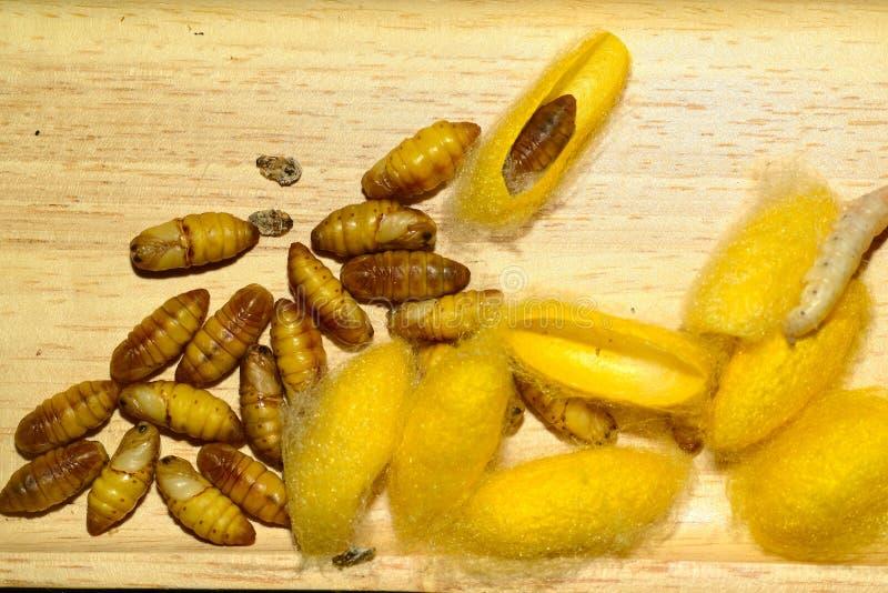 Insekta jedwabnik na tacy obrazy royalty free