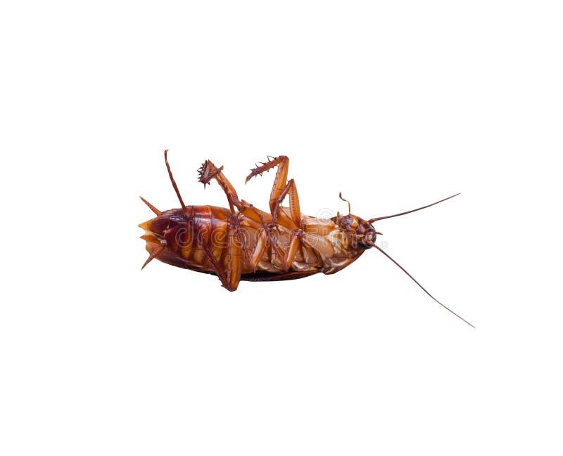 Insekta karakanu nieżywa pluskwa na białym tle odosobniony obrazy royalty free