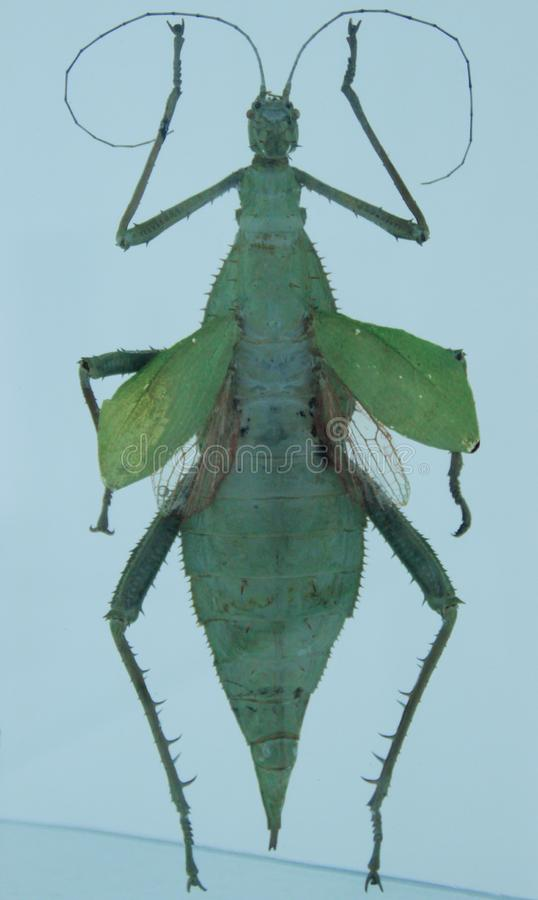 Insekta modlenia modliszka od entomologicznej kolekcji na białym tle zdjęcia royalty free