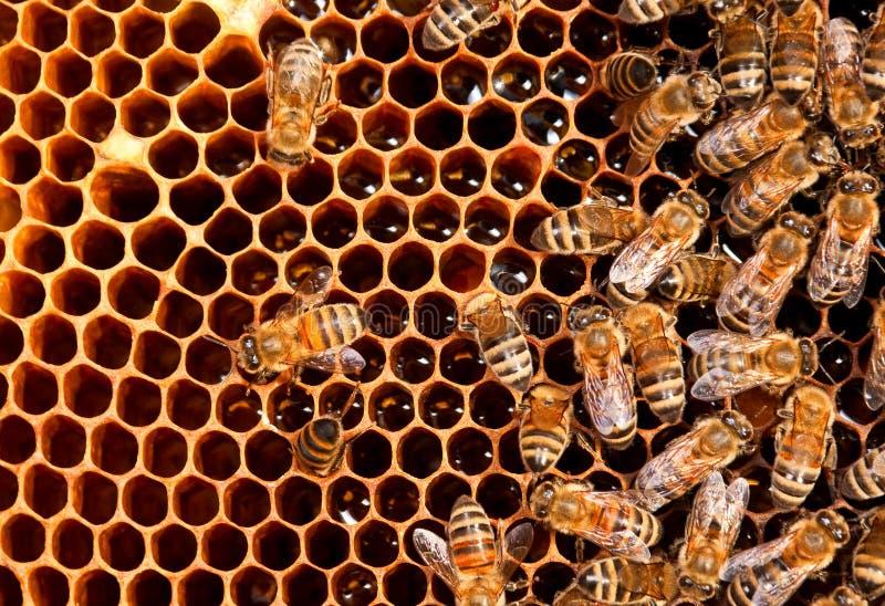 Insektbienenfunktion lizenzfreie stockfotografie
