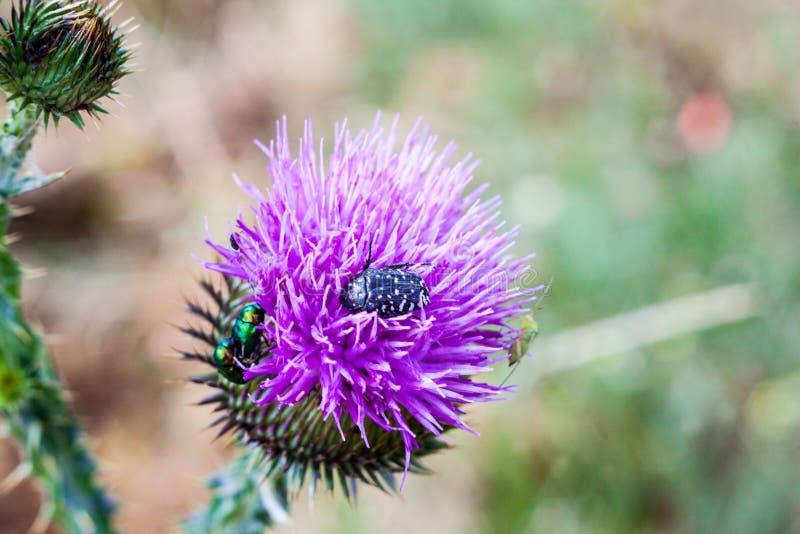Insekten auf der Distel Carduusblume lizenzfreie stockbilder