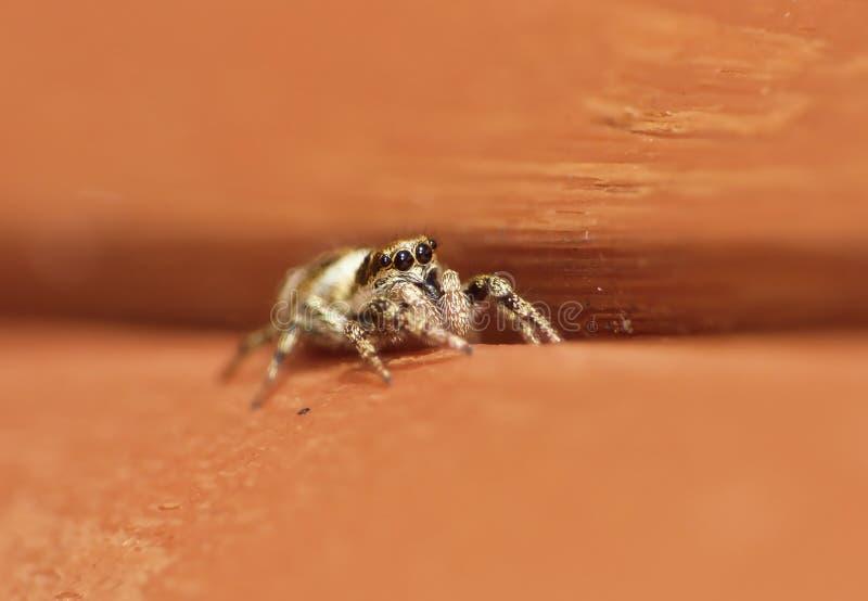Insekten-springender Spinnen-Abschluss herauf Makro lizenzfreie stockfotos
