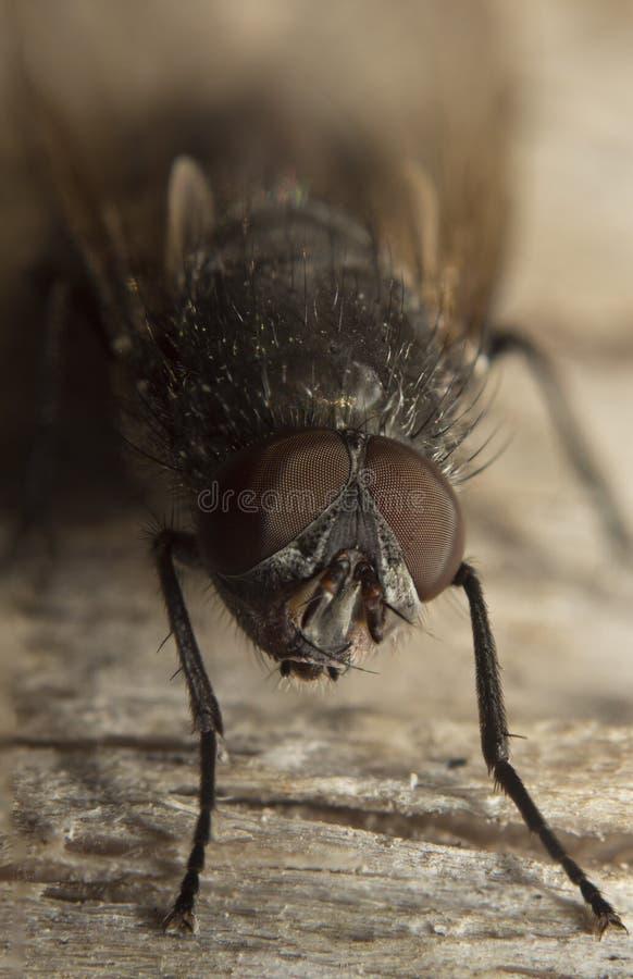 Insektenaugen-Nahaufnahmeporträt der Stubenfliegemakrohohen auflösung stockfoto