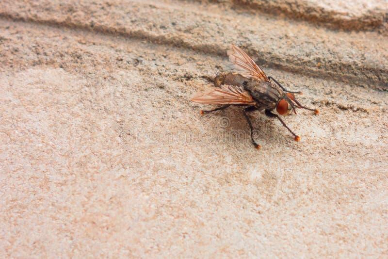 Insektenbedienkonzeptbild Nahaufnahme der Fliegenplage als potenzielle Gefahr Hintergrund mit Kopienraum auf schmutziger Wand und stockfoto