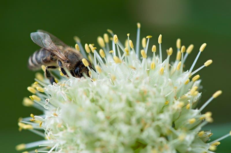 Insektenbiene lizenzfreie stockfotos