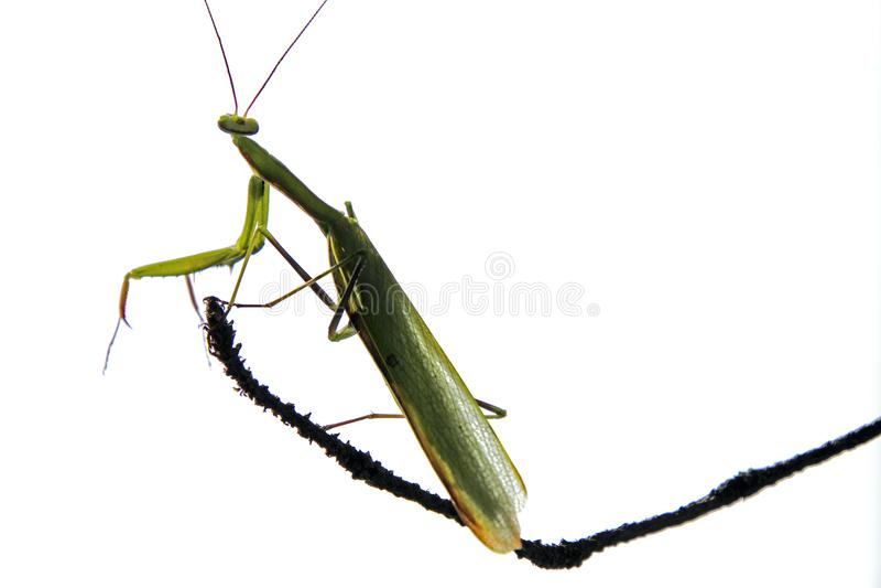 Insektengottesanbeterin auf trockener, dünner Kiefernniederlassung Grün Füße Antennen-Gliederfüßer Sommer-August Sixs n lizenzfreie stockbilder