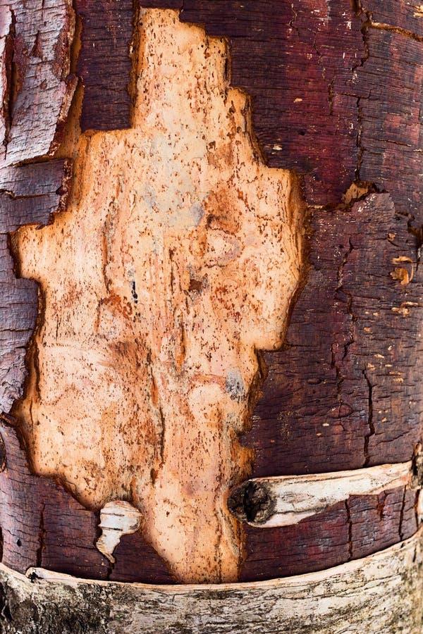 Insektenlöcher auf dem Baum ohne Barke lizenzfreie stockfotografie
