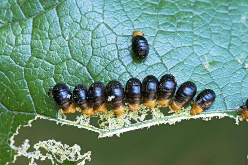 Insektenlarvebündel, das ein Blatt isst lizenzfreie stockfotos