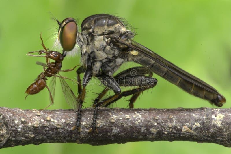 Insektenmörder, der rote Ameise isst stockbilder