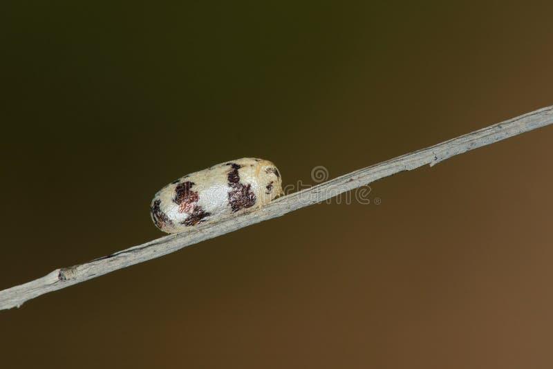 Insektenpuppen stockfoto