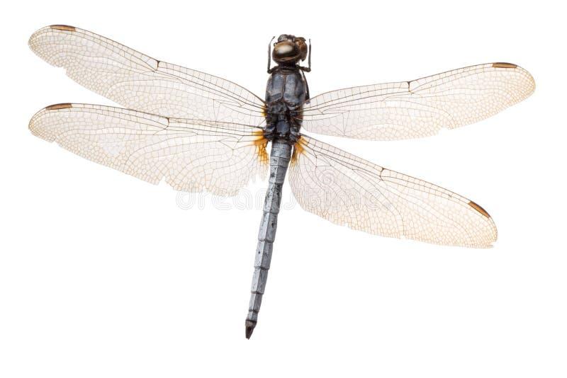 Insektlibelle lizenzfreies stockbild