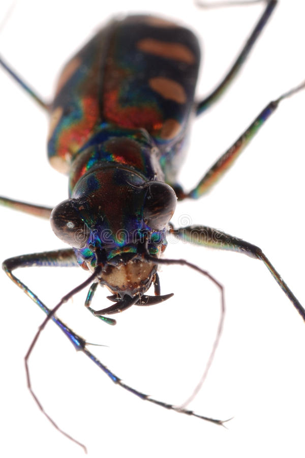 Insekttigerkäfer lizenzfreie stockbilder