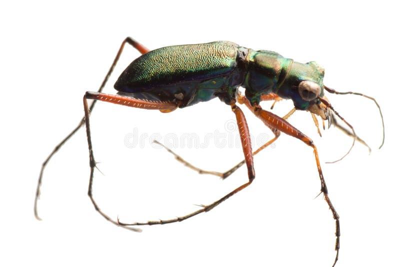 Insekttigerkäfer stockfotos