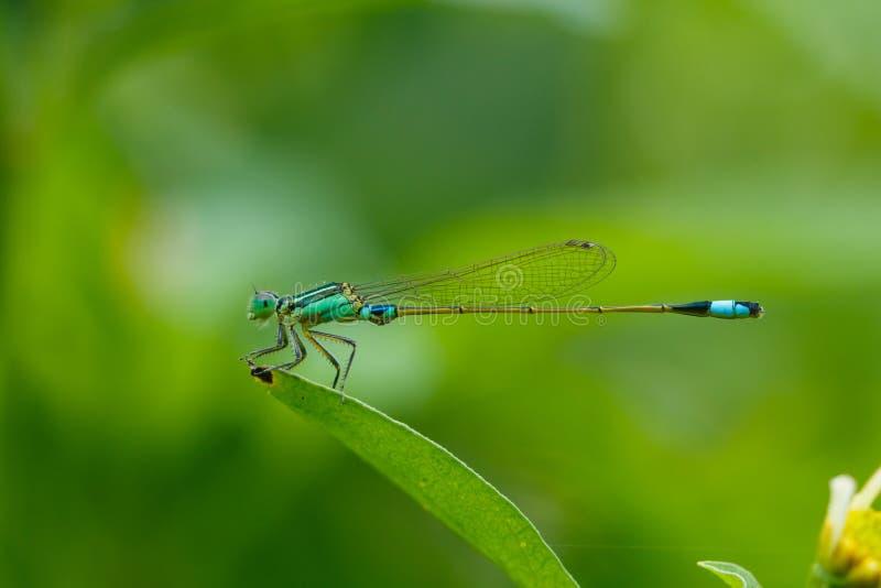Insekty, Dragonfly, Damselfly obraz stock