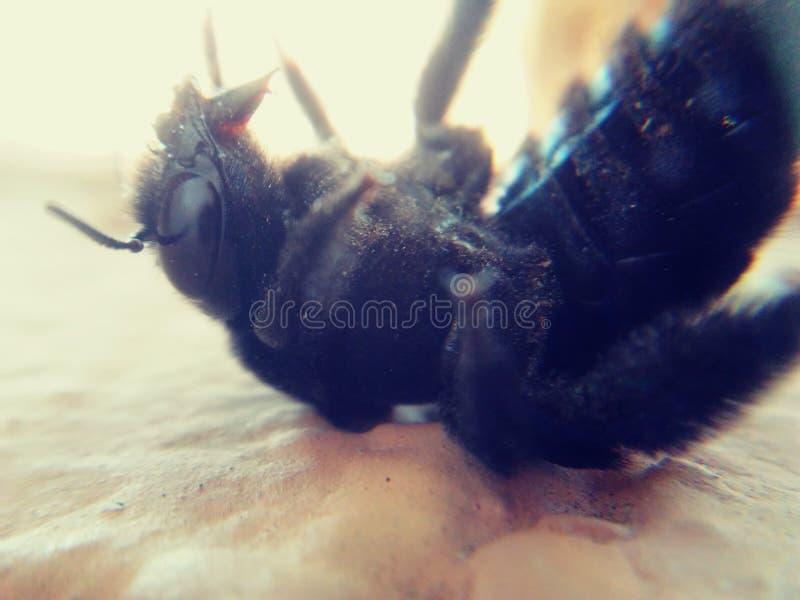 Insekty Mamroczą pszczoły skrzydła obrazy royalty free
