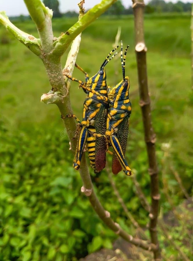 Insekty para pasikonik obraz royalty free