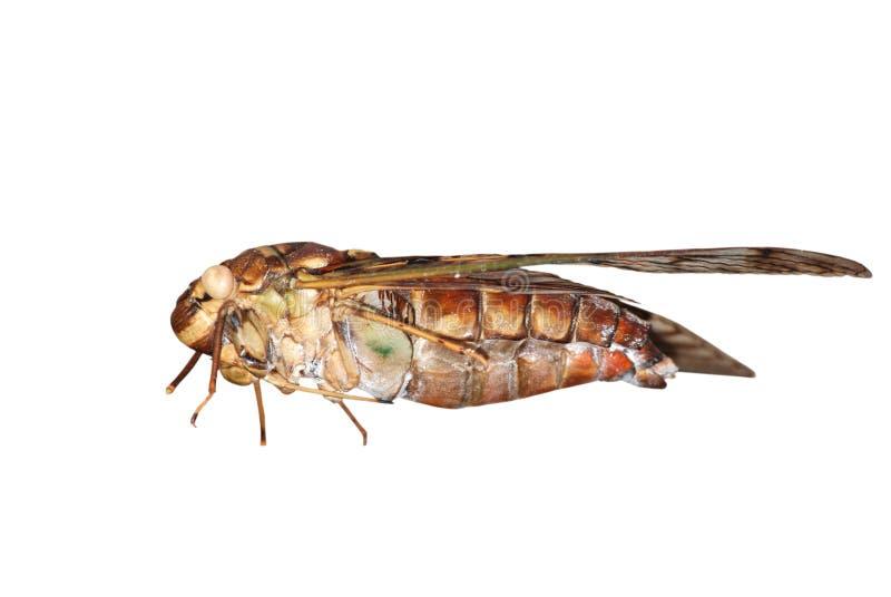 Insektzikade stockfoto