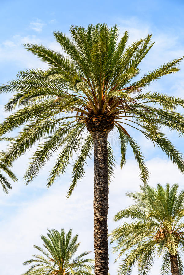 Insel-Palme auf blauem Himmel stockfotografie