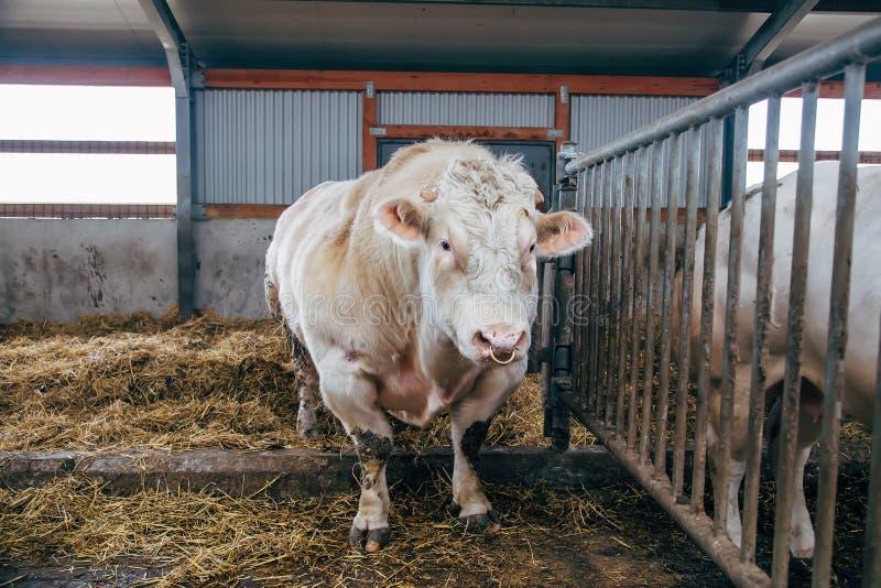 Inseminator belga del toro de la carne en parada libre del ganado imágenes de archivo libres de regalías