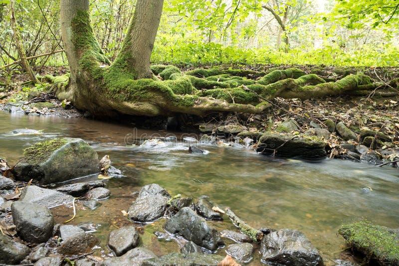 Insenatura con le radici dell'albero nel wather piovoso Repubblica ceca immagine stock