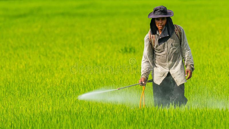 Inseticida de pulverização do fazendeiro no campo do arroz sem algum terno protetor químico foto de stock